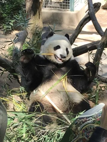 San Diego Zoo Pandas Head Back To China