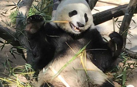 San Diego Zoo Pandas Head Back To China